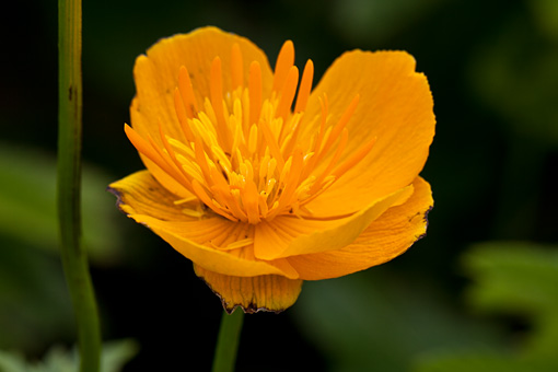 礼文島の7月の花(桃岩〜知床コース)